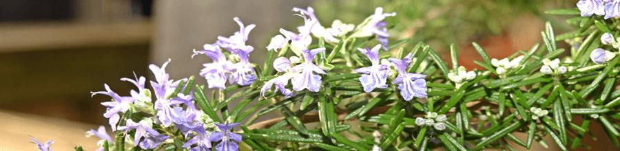 Flores do Alecrim