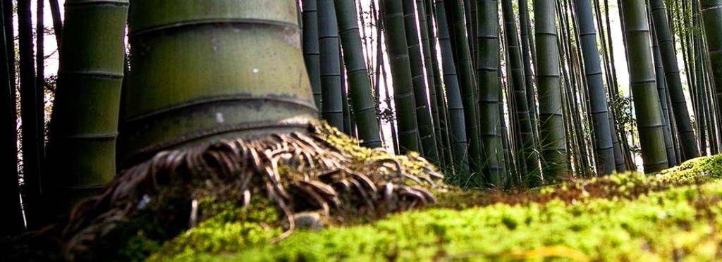 Raiz do bambu