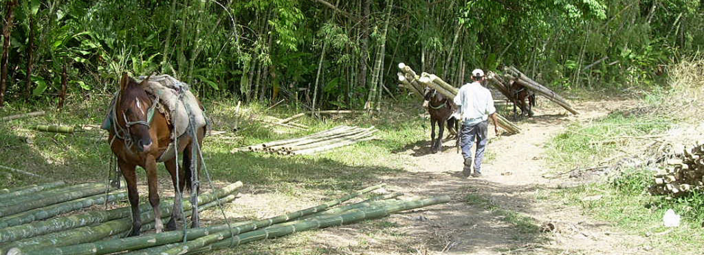 Colheita do bambu