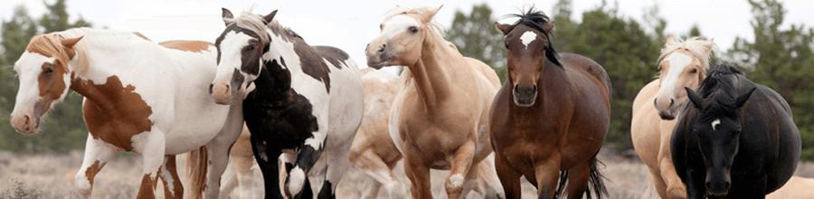 Cavalos selvagens americanos