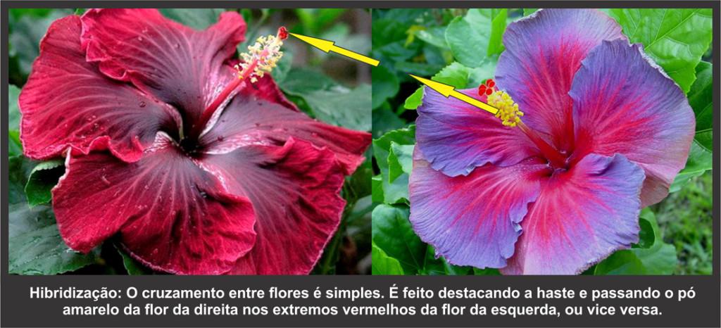 Hibridização de hibiscos