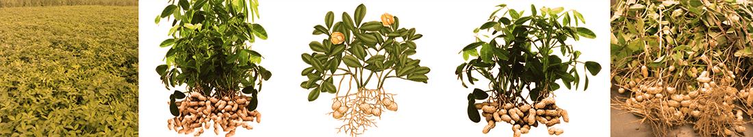 Planta do amendoim